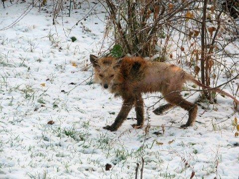 Skabb og vinter er en dårlig kombinasjon for Mikkel rev. Nå skal to være observert i Bjerkvik. Viltnemnda opplyser at enhver jeger har anledning til å avlive dem.