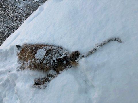 EN AV TO: Denne reven ble tatt av dage onsdag. Fortatt er det en rev med skabb igjen i Bjerkvik.
