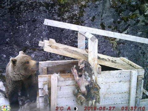 Dette bildet ble tatt av en bjørn ble tatt ved Revvatnet i Skånland for én uke siden. Trolig er det den samme bjørnen som onsdag drepte et lam og en sau ved Langvannet i Evenes. Nå har Fylkesmannen i Troms og Finnmark gitt skadefellingstillatelse på bjørnen.