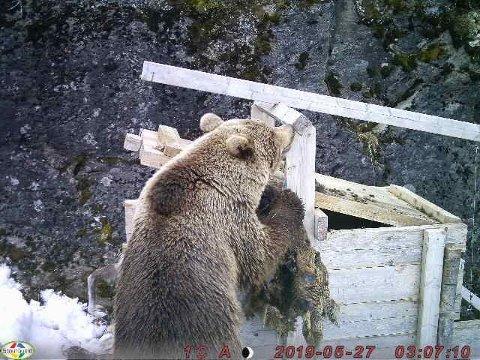 Her forsyner bjørnen seg av åta i jervebåsen ved Revvannet.
