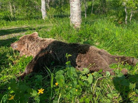 Her ble bjørnen felt, etter fem dager med bjørnejakt i Evenes.