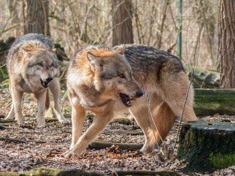 SKUTT: En ulv ble skutt i Kiruna kommune fredag. Men om det er den riktige ulven gjenstår å se. Illustrasjonsfoto