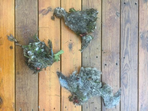IHJELKJØRTE: Her er tre av fugleungene som ble funnet i veikanten.