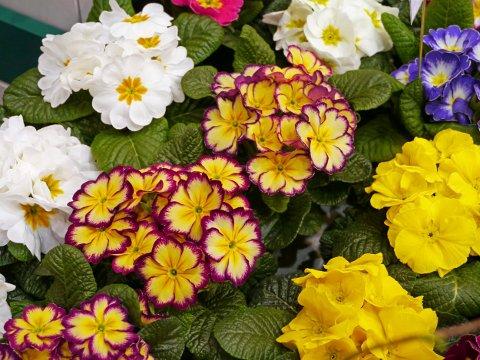 PRIMULA: Dette er en populær blomst etter jul