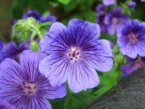 FARGERIK: Nydelige geranium blir raskt en favoritt.