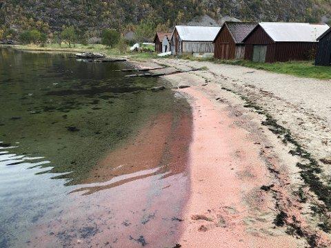 Fredag begynte det å dukke opp døende og døde krill på stranda i Frafjord. Siden har det bare seget inn mer og mer.