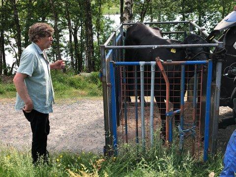 Olav Edland sier at kua antakelig har prøvd å redde kalven sin fra å drukne.
