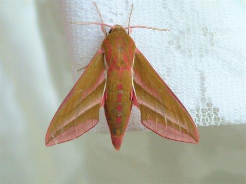 Stor snabelsvermer er en flott og vakker nattsommerfugl.