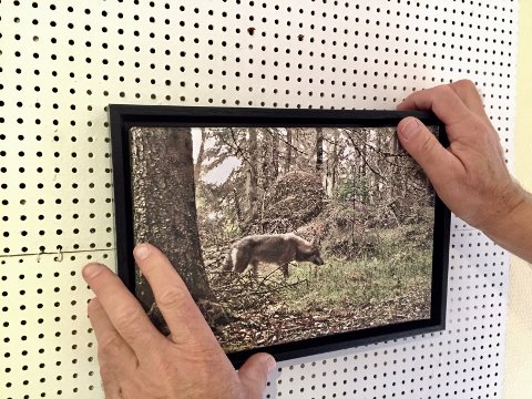 ULVEN: Et villdyr som noen mener de har rundt hushjørnet sitt. Kjell Ivar Wålberg har ikke sett ulven på flere år, denne ble fotografert med viltkamera i Skasberget naturreservat i fjor sommer.