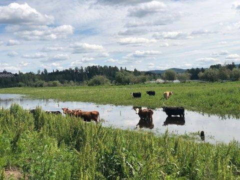 BEITE: – Kyrne er feite og fine på beite, men det skyldes at bonden er pålagt å ta imot hjelp til dyrestellet fra en kyndig fagperson, sier Ingrid Bjerke-Matsson, regionleder i Mattilsynet.