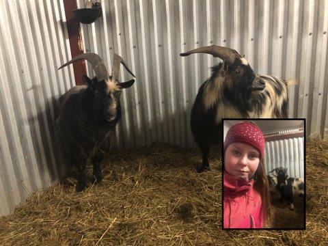 JULIA OG GEITENE: Julia Holmberg trodde nesten ikke sine egne ører da hun fikk høre at det vandret tre geiter mellom Vännacka og Årjäng. Nå har de tre, som hun kaller Olle, Lasse og Bosse, bodd hos henne i tre uker.