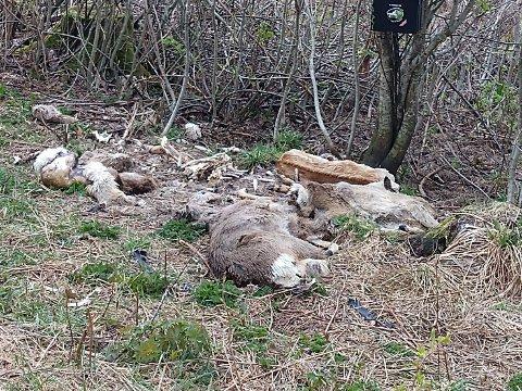 KADAVRE: Jan Wesenberg meldte fra om dyrekadavrene til Fylkesmannen i Oslo og Viken, og stedet er blitt sjekket av Statens Naturoppsyn (SNO).