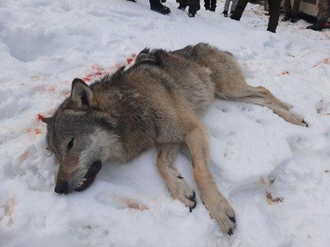 HANNULV: Denne ulven måtte fellingslaget ringe inn to ganger, før de fikk felt den. Det er igjen fem dyr på gjenværende kvote i Hedmark og Akershus.