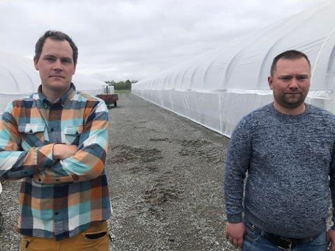 TUNNELER: De tre tunnelene, hver på hundre meter, har vakt oppsikt der de reises på Industrifeltet. Andreas Bakken (til venstre) og Olav Moe kan om noen uker friste med røde, søte jordbær fra disse.