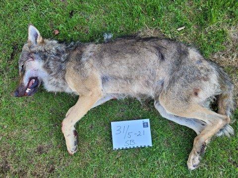 PÅKJØRT: Det var denne ulven som ble påkjørt på Flisa.