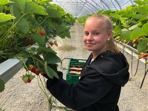FØRSTE SOMMERJOBB: Mina Sandberg Hansen-Gaard har sin første sommerjobb, og plukker jordbær i tunnelene på Industriområdet på Kirkenær. Hun melder om gode jordbær.