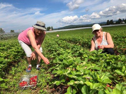 BARNDOMSMINNER: Marit Engen (til venstre) og Inger H. Rognstad tok med karene sine og reiste på selvplukk. Selvplukk av jordbær vekker barndomsminner for Inger.