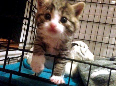 KVIKNER TIL: - Det går bra med kattungen, men den er så liten at den er avhengig av å bli matet, sier Tone Solanki i Dyrebeskyttelsen Lillehammer.