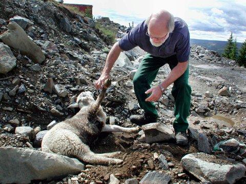 Økning: Tapstallene til beitenæringa øker. Rekordmange sau er tatt av ulv i 2017.Arkivfoto