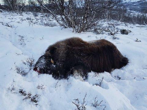 En voksen Moskus-okse var en del av flokken som ble skutt på Dovre onsdag.