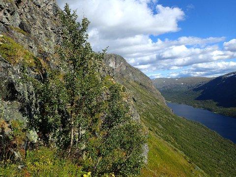 Rekord: Dette treet i Sikkilsdalen er Norges høyestliggende. Også skoggrensa i samme dal er den høyestliggende i landet. Foto: Peter Horváth