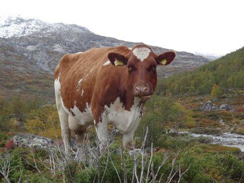 Mindre promp: Landbruket må redusere utslipp av klimagasser, også promp fra kuer