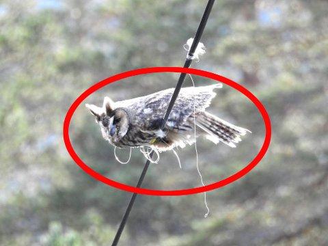 DØDSFELLE: Ugla kjempet for livet der den satt fast i et fiskesnøre som hang rundt en strømkabel. Det er ingen som vet hvor lenge ugla satt fast.