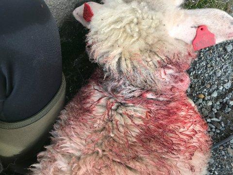MÅTTE AVLIVES: Lammet var så maltraktert at det måtte avlives.