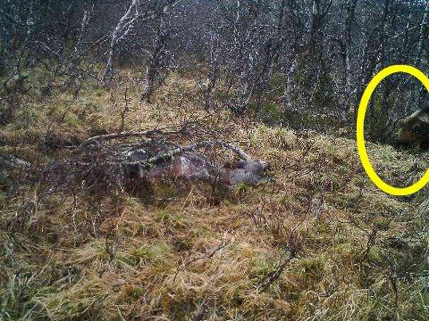 SNO har stadfestet at dette bildet av bjørn ble tatt tirsdag 28. mai ved 08-tiden.