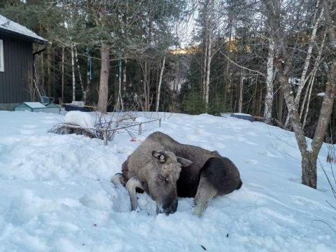 En åringsokse ble felt av falltviltgruppa i Ringebu, i boligfeltet Gunstadskogen.