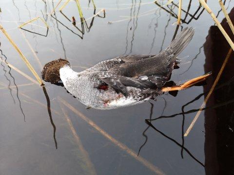 Denne laksandhunnen ble funnet i elva ved Kroken tirsdag.