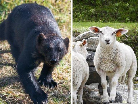 Jervejakt pågår i Skjåk etter at det er dokumentert tre dyr tatt av jerv nå i det siste.