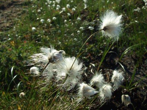 Myrull i full blomst.