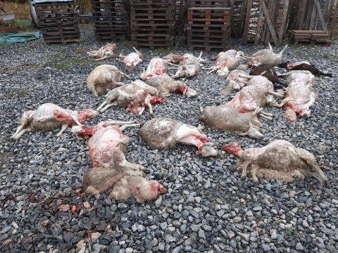 Minst 21 sauer er døde etter angrep av ulv nord i Marker. Noen av sauene ble drept direkte mens resten måtte avlives. Statens naturoppsyn bekrefter at det er ulv som har vært på ferde. Bildet er tatt på stedet onsdag ettermiddag.