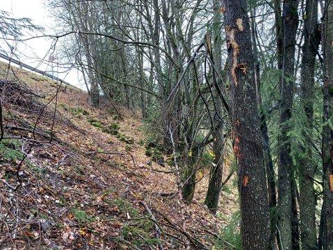 SKADER: Sju-åtte meter nedenfor veibanen var det skader på trær og det som trolig var oppmerkinger i forbindelse med undersøkelsene på ulykkesstedet i Kolbu. ARKIV