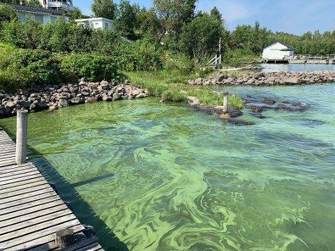 GUGGE: Det ble i 2019 frarådet å bade i vann der det var mye blågrønne alger, slik som her.  Nå mener forskerne å ha funnet ut hvorfor algeveksten har dukket opp .