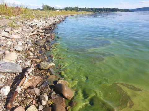 GRØNT: Cyanobakterier (blågrønnalger) i Mjøsa ved Brumunddal. Bildet er tatt tirsdag.