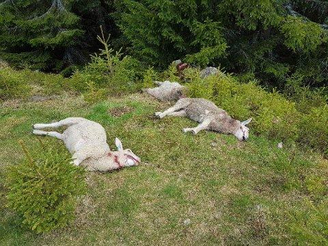 Drepte lam: Etter ulveangrep i juni.