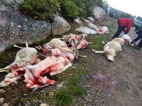 GRAN ØSTÅS SØNDAG: Representanter fra SNO flår og obduserer døde sauer for å bekrefte eller avkrefte at de er tatt av ulv.
