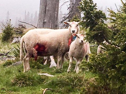 De fleste sauene som ble funnet søndag formiddag levde fortsatt. Flere med store skader, som denne søya. - Det er bare bitt og revet i dyret, sier Kjetil Ulset i Gran Sauebeitelag.