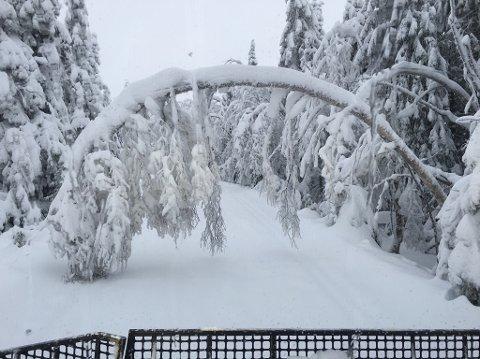 TUNGT: Snøen sørger for at trærne presses ned i en bue. Her fra Mylla. Foto: Privat