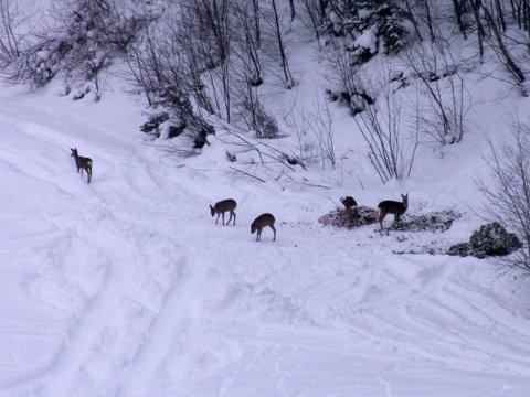 BÅNDTVANG: Av hensyn til rådyra, som sliter med de store snømengdene, er det innført båndtvang med umiddelbar virkning på hele Hadeland.