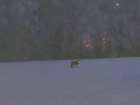 ULV?: En leser har sendt oss dette bildet, og mener bestemt han har sett ulv på Roa lørdag. SNO er usikre.