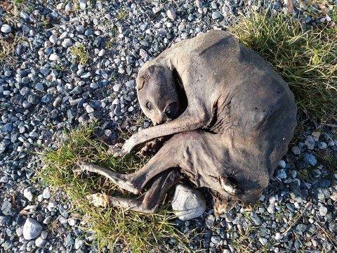 KADAVER: Runa Lillian Skattum var redd det var en død hund hun hadde funnet på turstien, og tok bilde for at en eventuell eier kunne bli funnet. Viltnemnda mener imidlertid at det dreier seg om vilt.