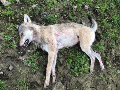 SKUTT: Ulven som ble skutt innenfor sauegjerdet på Sander i Sør-Odal tirsdag morgen. Foto: Politiet
