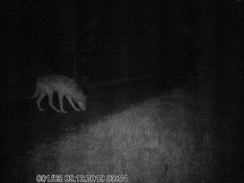 VILTKAMERA: 13. september ble ulven sist fanget på viltkamera.