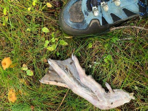 STOR FOT: Familien Knutsen fant denne fuglefoten i skogen i Åslendet i Gjøvik kommune søndag. Skoen på bildet er i størrelse 42.