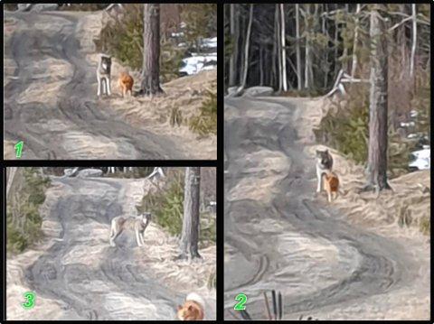 NORMAL OPPFØRSEL?  På bilde 1 ser hunden på ulven. De virker til å være tett på hverandre. Ingen av dem er redde ut.  Bilde 2. Hunden er på vei bort, ulven ser på den. Bilde 3. Ulven har snudd seg, hunden er på vei videre nedover skogsbilveien. Det er eier som ser hund og ulv møte hverandre.