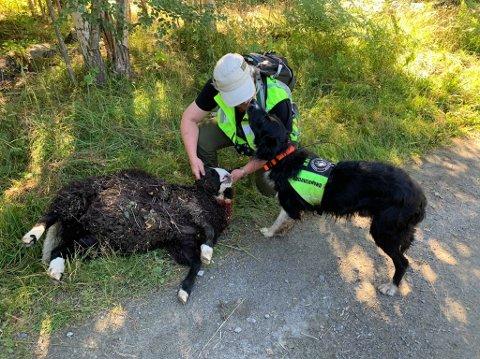 FUNN: Lørdag ble det funnet flere døde sau etter et hundeangrep i Søndre Land. Inger Lise Sveum-Aasbekken og mannen Arne, som eier dyra, oppfordrer hundeeiere til varsomhet og rask reaksjon hvis noe skjer.