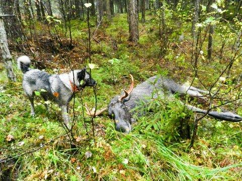 Elghunden Ronja fikk los på flere elger under jakta ved Berby i fjor.